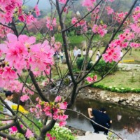 A glimpse of the cherry blossoms on Taipei's Yangmingshan