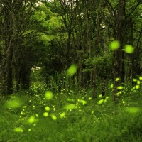 Seizeshort window of opportunity to watch fireflies in Danongdafu Forest Park in eastern Taiwan