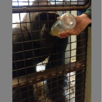 【瀕危動物】北市動物園「金剛猩猩」遠渡重洋 赴荷蘭跨海聯姻