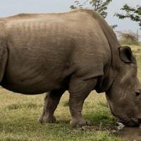 北非白犀牛明星大使蘇丹離世 WildAid籲:五犀牛物種急需保育