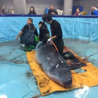 Taiwanese elementary school sets up rescue pond for stranded whale