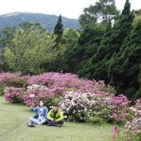 As flower festival is ending, colorful azaleas are in full bloom in Taipei's Yangmingshan National Park