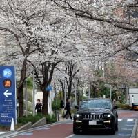 日本東京櫻花提早10天盛開 皇宮林蔭道即日起開放賞櫻