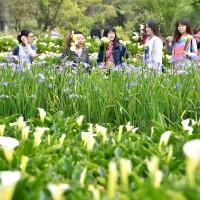 【浪漫】陽明山「竹子湖海芋季」登場  賞花期至5月底