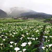 Calla Lily Festival kicks off on Taipei's Yangmingshan