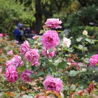 Rose exhibition at Shilin Official Residence in Taipei