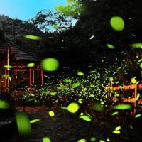 Photo of the Day: Fireflies dazzle western Taiwan
