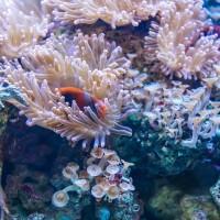 終結綠島生態浩劫 軟珊瑚預告進產卵期