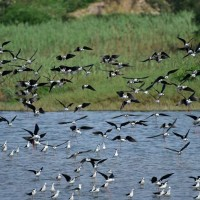 Hsinchu City Govt: Now is best time to watch Black-winged Stilts in Hsinchu, northern Taiwan