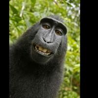 猴子自拍惹官司 美法院:人類才有著作權