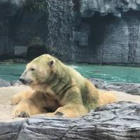 不得不道別 星國首隻熱帶地區出生的北極熊走了