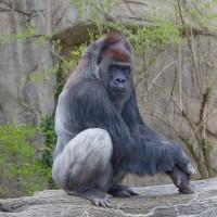 新研究:西非大猩猩與黑猩猩 數量增加瀕危威脅未減