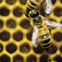 蜜蜂生態岌岌可危 歐盟全面禁用類尼古丁農藥