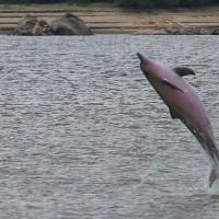 巴西研究:亞馬遜海豚快速瀕絕 每10年銳減一半