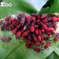 是枸杞還是紅火蟻?!台北動物園:是紅姬緣椿象大發生