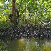 全球紅樹林銳減 不起眼但有助對抗暖化