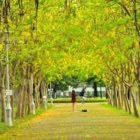 Flamegold rain trees bring golden blossoms to Taiwan