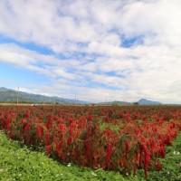 台東南迴15噸紅藜滯銷 議員要求農業處協助解決