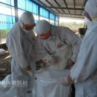 Avian flu hits Tainan farm, 1,050 geese culled