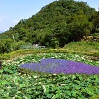 Easter lilies blooming at Whitestone Lake in Taipei's Neihu