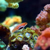 澳洲大堡礁第6次重生?3萬年間已歷經5次白化