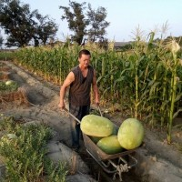Watermelon farmer, single father in race against time with cancer in western Taiwan