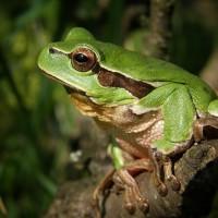 兩棲動物死亡威脅 台灣參與國際研究找出肇因