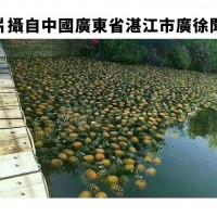 「香蕉鳳梨遭棄置」謠言瘋傳 農委會質疑KMT製作假新聞