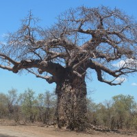 新研究:非洲高大猴麵包樹 因氣溫驟升悄悄走了