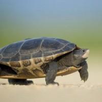 墨西哥新物種 小烏龜鼻頭上有黃點