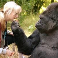會手語的大猩猩可可 睡夢中安詳離世