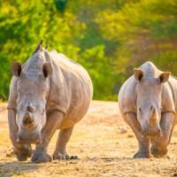 對抗犀牛盜獵!WildAid執行長籲南非設立特別法院