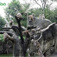北市動物園猴王「榮哥」率眾打群架 為受傷母猴報仇