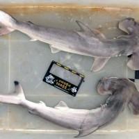 Endangered hammerhead sharks found offTaiwan coast