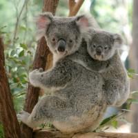 國際研究團隊揭密 澳洲無尾熊保育有譜
