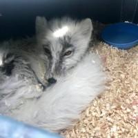 加國漁夫化身救援隊 搶救受困多日的極地狐