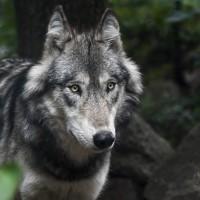 衝出封鎖線 科學家憂車諾比灰狼變異基因可能擴散