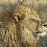 歹路走多 南非盜獵者遭獅群攻擊