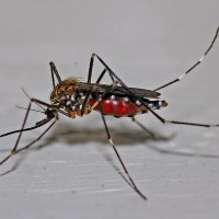 Australian scientists cutdengue carrying mosquito population by 80%