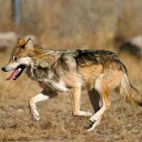 墨國動物園新成員 8隻小墨西哥狼