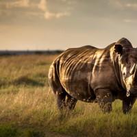 非洲肯亞瀕危黑犀牛 疑似飲用水中毒死亡