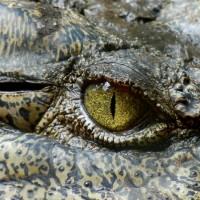 咬死人得償命 印尼300隻保育鱷魚慘遭居民殺害