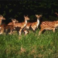 台灣梅花鹿數量攀升 恆春半島林地消失大半