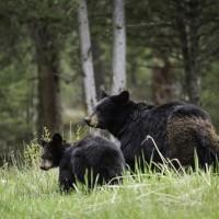 加拿大破獲非法販售熊膽集團 3年賣逾百顆