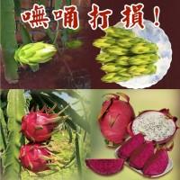 【義美狂想曲】試辦每公斤175元收購火龍果「花苞、花蕊」 助農友增加收益