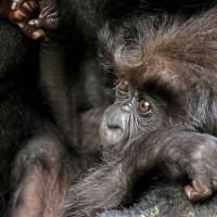 非洲首座國家公園喜迎山地大猩猩寶寶