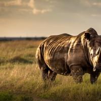 非洲肯亞瀕危黑犀牛再傳死訊 其中一隻留院觀察