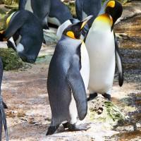 全球最大國王企鵝島 法屬科雄島企鵝數驚見大減