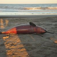 美國懸賞11500美元 抓拿海豚母子殺手