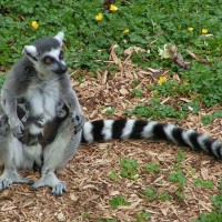 非洲馬達加斯加特有種 95%狐猴品種面臨瀕絕